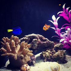 【yayoeenyo】さんのInstagramをピンしています。 《2人が出会った瞬間✨🐠 サンゴの翔さんも枝が伸びてきた!  ぼくの名前は『ぼくちゃん』  キミの名前は?  ワタシの名前は『シゲル』🐠 って会話してそー💕  #ファインディングニモ#ファインディングドリー#海水魚#ニモ#ドリー#アクアリウム#ライブロック#買ったらカニがついてきた#眺めてたら発見してビビる#セバスチャン#カニに名付け#海水魚水槽#水槽#miniaquarium#aquarium#NEMO#DOLLY#findingdory#findingnemo#disney#リトルマーメイド#来月は最前列で観劇予定#そろそろライオンキングまた行きたいな》