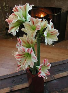 Carey's Flowers since 1912: I Love Amaryllis     (Also the title of Shinedown's latest album... for those wondering...)