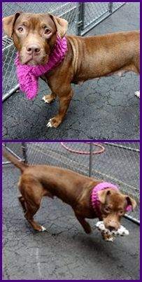 Manhattan Center PANDORA – A1061055 FEMALE, BROWN / WHITE, PIT BULL MIX, 2 yrs STRAY – STRAY WAIT, NO HOLD Reason STRAY Intake condition EXAM REQ Intake Date 12/20/2015 http://nycdogs.urgentpodr.org/pandora-a1061055/