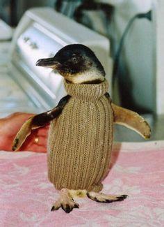 Strick steht ihm gut: Diesem süßen Zwergpinguin kann dank schützendem Pullover kein Öl-Teppich etwas anhaben.