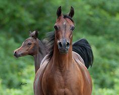 GA Mi Grandlady (Minotaur x WN Mahogany Lady) 1998 bay mare bred by Grand Arabian Farms, Michigan