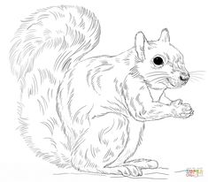 Eastern Gray Squirrel Coloring Page SquirrelColoring SheetsColoring PagesSquirrelsFree PrintableStep