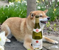 2014 E. Guigal Côtes du RhôneBlancYou know me and my Guigal... #shiba
