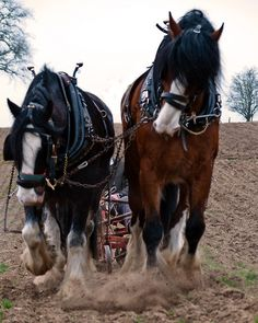 horsep0rn: Shire Horses at work (1) (by mobbsje)