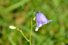bellflowers Animated Gifs Gallery and carpatica campanula flowers of Campanulaceae family with a characteristic shape that resembles a bell and grow in bushes Bouquet Tattoo, Blowin' In The Wind, Gifs, Tattoo Project, Sketch Inspiration, Animation, Flowers, Plants, Flora