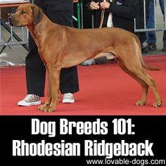Dog Breeds 101: Rhodesian Ridgeback!►►http://lovable-dogs.com/dog-breeds-101-rhodesian-ridgeback/?i=p