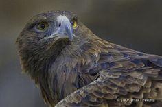 Golded Eagle Portrait
