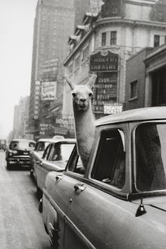 I must have this picture. I love llamas!