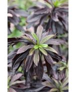 February Plum Daphne (Daphne x houtteana 'February Plum') The coveted black leaved Daphne from Dan Hinkley!