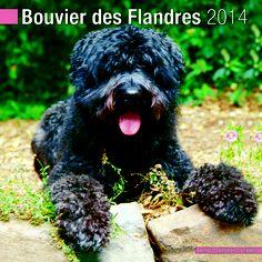 Bouvier Des Flandres US 2014 Calendar 10120 14 by Pet Prints, Inc 2013 Calendars.  http://www.megacalendars.com/bouvier-des-flandres-us-calendar-by-pet-prints.html