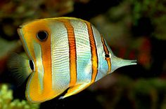 Copperbanded butterflyfish   ;)