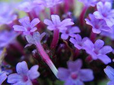 Tiny purple flowers of a verbena from my garden taken closeup with a macro lens.  #flowermagic #flowerstagram #flowersofinstagram #flower #flowers #macro #macro_freaks #macrophotography #macro_perfection #macroworld_tr #macroworld #verbena #closeup #purple #beautiful