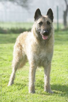 BELGIAN SHEPHERD DOG LAEKENOIS