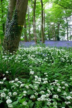 Wild Garlic & Bluebells, Wiltshire woods. (Masses of Allium ursinum ('Ransoms' or 'Wild Garlic') in a bluebell wood near Lacock, Wiltshire.)...