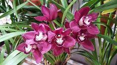 Resultado de imagen para Orquidea Cymbidium
