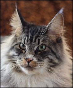 Billy, Maine Coon