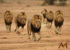 The Brotherhood of Blood Majestic Animals, Animals Beautiful, Jungle Animals, Animals And Pets, Big Cats, Cute Cats, Lion Walking, Cat Diary, Lion Sketch