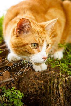 June 30, 2014 - Gilbert is Hunting - Orange Tabby Cat  2014©Barbara O'Brien Photography