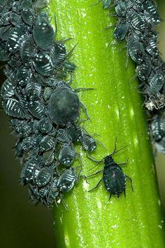Mszyca bzowa – Wikipedia, wolna encyklopedia Fruit, Garden, Garten, Gardens, Tuin, Yard