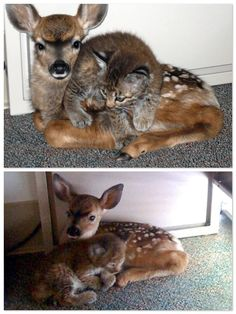 After a fire in Santa Barbara, a 3-week old bobcat kitten and 3 day old fawn became fast friends. They would not normally be placed together but took comfort in each other's company, snuggling under a desk at a dispatch office for hours. Rescuers snagged the bobcat kitten first, finding it dehydrated and near death. Later, they brought in the fawn and discovered they didn't have a crate large enough for it. No matter – the kitten ran right over to the fawn, and the two became fast friends.
