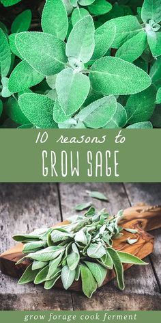 Sage is an awesome herb you should be growing for many reasons! Let's explore some of the many ways growing sage can be beneficial for your garden, your palate, and your health. Here are 10 reasons to grow sage! Healing Herbs, Medicinal Herbs, Salvia, Growing Plants, Growing Vegetables, Growing Herbs Indoors, Container Gardening, Gardening Tips, Home Vegetable Garden