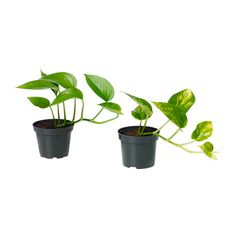EPIPREMNUM Potted plant IKEA Decorate your home with plants combined with a plant pot to suit your style.