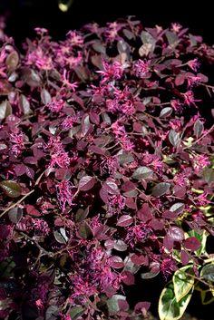 Find Crimson Fire™ Chinese Fringeflower (Loropetalum chinense 'PIILC-I') in Chattanooga Hixson Fort Oglethorpe Ringgold Soddy Tennessee TN at Holcomb Garden Center (Chinese Fringe Flower, Chinese Witch Hazel)