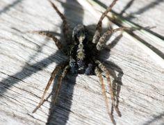 Salticidae Marpissa Muscosa Une classique de nos jardins...