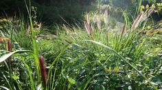 Grass border with Pennisetum viridescens 'Black Beauty' | Flickr - Photo Sharing!
