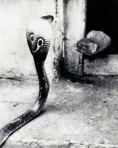 vintagegal: Indian Cobra & Mongoose face off...