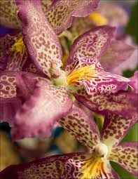 Image result for orchid MTSSA march howard's dream