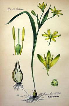Antique flower lithograph, 1886 antique Yellow Star of Bethlehem print, vintage lily flowering plant engraving, FLOWERS botanical plate. Plant Order, Star Of Bethlehem, Antique Prints, Vintage Colors, Paper Size, Flower Prints, Planting Flowers, Lily, Boat