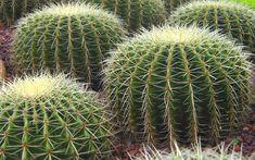 Download wallpapers Echinocereus, cactus, thorns, plants, Mexico