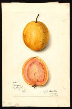 Artist:     Newton, Amanda Almira, ca. 1860-1943  Scientific name:     Psidium…