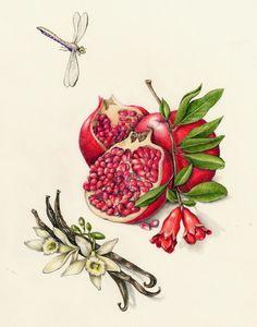 http://www.drawingincolor.com/files/3942704/uploaded/Pomegrante.jpg