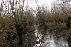 Bestand:Willow coppice culture ZH Biesbos 2.jpg - Wikipedia
