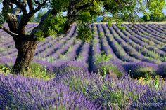Lone Tree in Lavender Field- Brian Jannsen Photography
