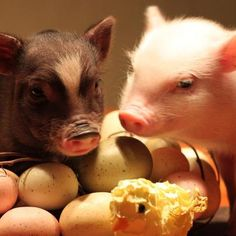 Happy Easter from Outlaw Mini Pigs