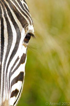 """500px / Photo """"Zebra detail Front end"""" by Arend van der Walt"""