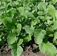 BLAD Eko ruccolasallat 'Rucola'  Den vanliga goda sorten som är pepprigt stark. Blir extra stark vid torka. 25kr