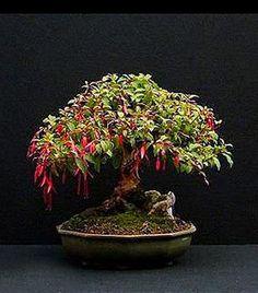RP: Fuchsia Magellanica / Fuchsia - bonsai4me.com