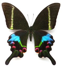 Kristina Swallowtail Butterfly    credit: Christopher Marley