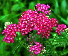 509e15d2bf1 Achillea  Cerise Queen  is a carefree and generously blooming perennial and  a pretty addition to any border. From early to midsummer it displays large