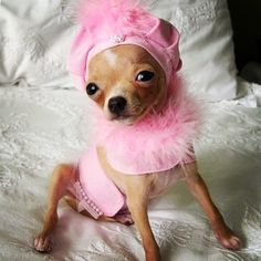 Cute Chihuahua Clothes and outfits for tiny dogs! Shop the Famous Chihuahua Store at http://store.famouschihuahua.com