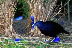 Uccello Giardiniere I 5 Nidi Più Bizzarri Del Mondo Animale Sono Dei Capolavori Di Architettura