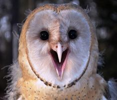 Barn owlet with open beak. look Natalia, she's smiling at you!
