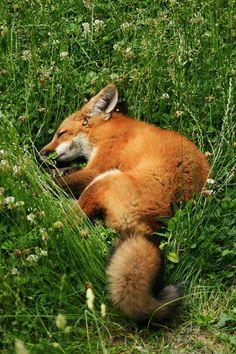 Sleeping fox....