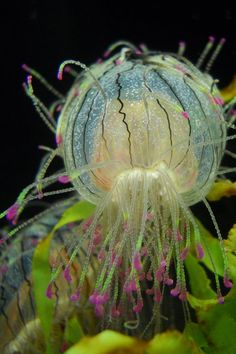 Flower Hat Jellyfish