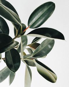 """Do you have a spirit plant? Mine is the ficus elastica (aka rubber tree plant) — @dabito """