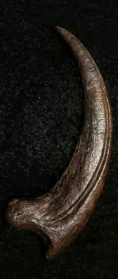 """Dromaeosaurus Claw Dromaeosaurus """"running lizard"""" was a genus of theropod dinosa… Dinosaur Claw, Real Dinosaur, Dinosaur Skeleton, Dinosaur Fossils, Walking With Dinosaurs, Tooth And Claw, Dinosaur Pictures, Extinct Animals, Prehistoric Creatures"""